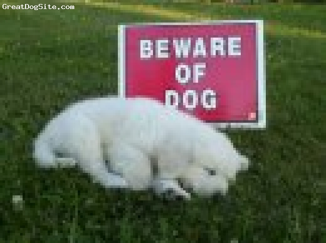 Great Pyrenees, 6 weeks, white, We started putting Casper in front of this beware of dog sign the day we picked him up. This picture is the same day, he couldn't stay awake. He is now six months old and the sign looks very tiny next to him!