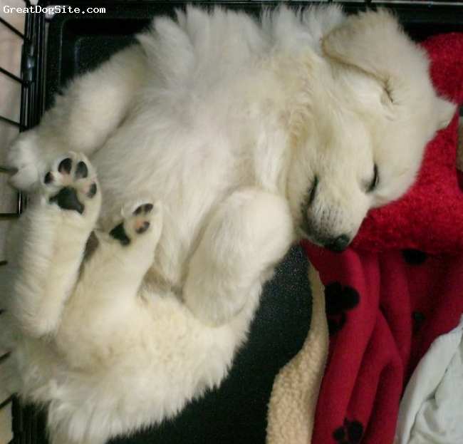 Great Pyrenees, 6 weeks, white, Sleepy time