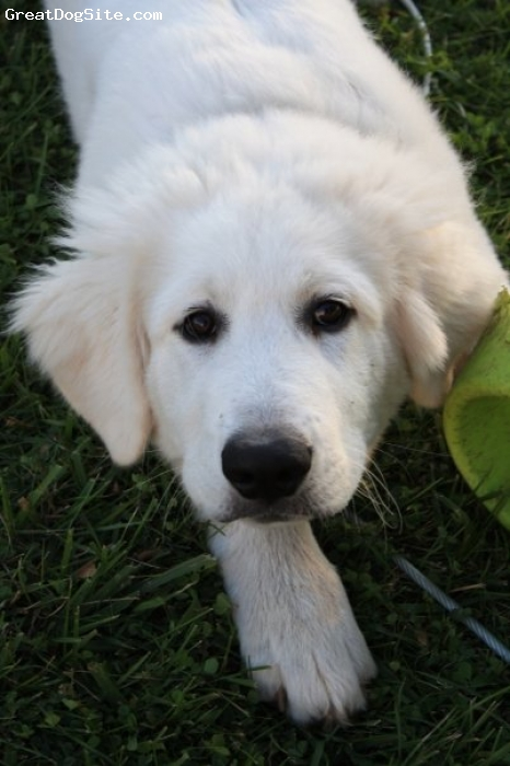 Great Pyrenees, 2months, white, stalking the photographer-me!!!