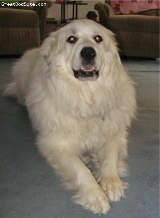 Great Pyrenees, 4, white, The love of my life