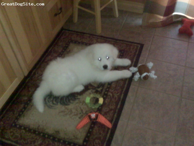 Great Pyrenees, 9 weeks, whtie, Not much of that carpet left.