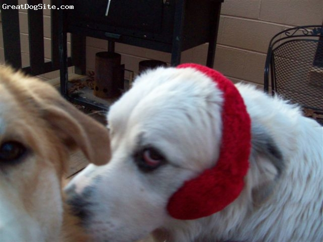 Great Pyrenees, 1 year, white, Big Al is a clown, he is always trying to get my red ear muffs, so I got him a pair of his own!