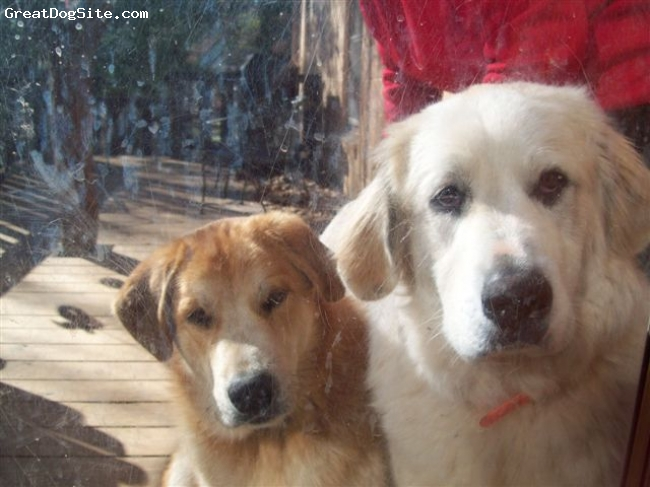 Great Pyrenees, 1 year, White & Brown, Brothers from the same litter!  All the pups were white except Little Dude, he was the runt and we adopted him so his big brother could take care of him and love him!