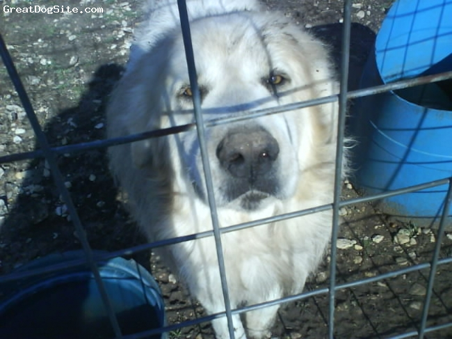 Great Pyrenees, 6 years old, red and white, jake is one of the most loving and caring dogs i know! he follows you every where and will protect you animals and household from coyotes and what-not.