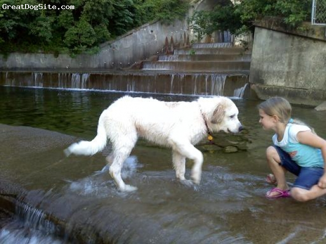 Great Pyrenees, 5 1/2 months, white brown, Playing in the water
