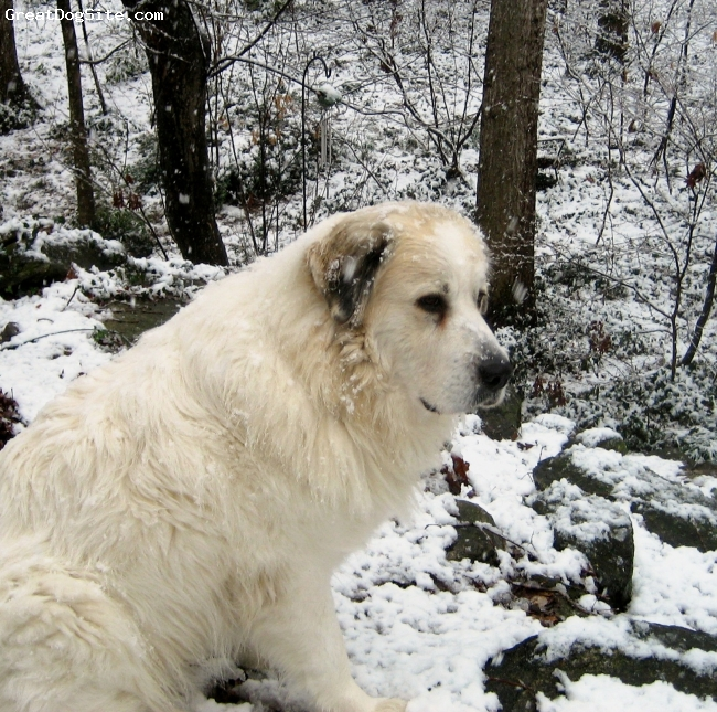 "Great Pyrenees, 4 years, White ""badger"", Rescued Great Pyrennes - great friend and wonderful protector."