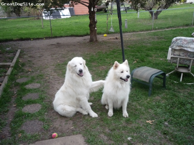 Great Pyrenees, 1 year 6 months, White with biscuit(tan), Takoda with his brother Teagan (a 5 year old Samoyed)