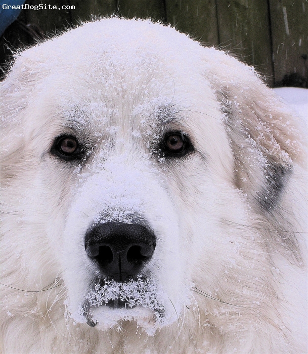 "Great Pyrenees, 4 years, White, "" Got Snow ?"""