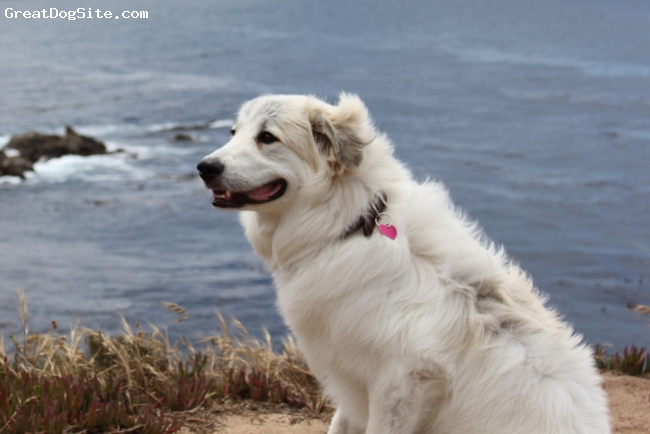 Great Pyrenees, 3, white, 3 year old Great Pyreneese