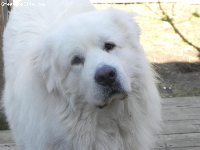 Great Pyrenees, 3, white, Gentle Soul............