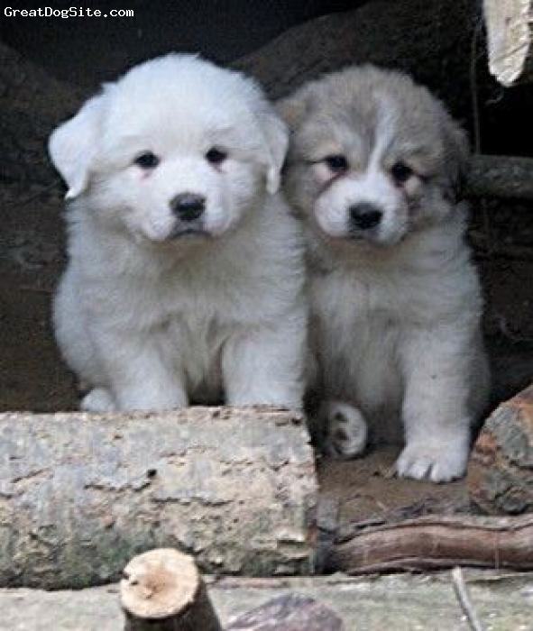 Great Pyrenees, 8 weeks, badger marked and solid white, Either Solid white or badger markings Great Pyrenees pups are so cute and fun to raise. These two are on a working farm with goats, sheep, alpacas, chickens turkeys ducks geese, barn cat. ETC... www.tbonesgreenacres.com if interested in one.