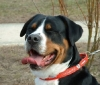 Greater Swiss Mountain Dog, 8 yrs. old, blk., brown, red