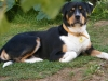 Greater Swiss Mountain Dog, 2, black, brown, white