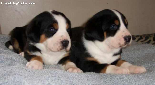 Greater Swiss Mountain Dog, 4 weeks, black, red and white, Two beautiful female pups at 4 weeks of age. Sired by X-man, an excellent example of the breed. We cant wait to see these girls grow up and start their show careers.