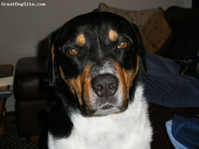 Greater Swiss Mountain Dog, 3 1/2 year, tri, here he is trying not to look too interested