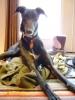 Greyhound, 4, Tuxedo