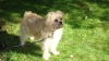 Griffichon, 3 years old, Sandy Blonde