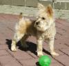 Griffonshire, 9 months, Blond