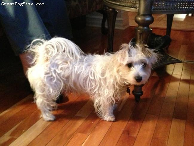 Hava-Jack, 2, white, Soft longer hair 9 lbs. Cuddler