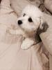 Havachon, 17 months, White