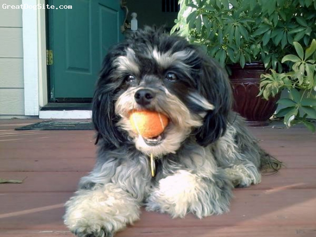 Havamalt, 3, black/white/tan, The best charateristics of both breeds. A wonderful dog!