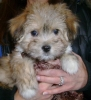 Havanese, 8 weeks, fawn sable