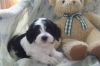 Havanese, 8 Weeks, Black and White