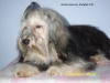 Havanese, 12 month, black with gold meanings