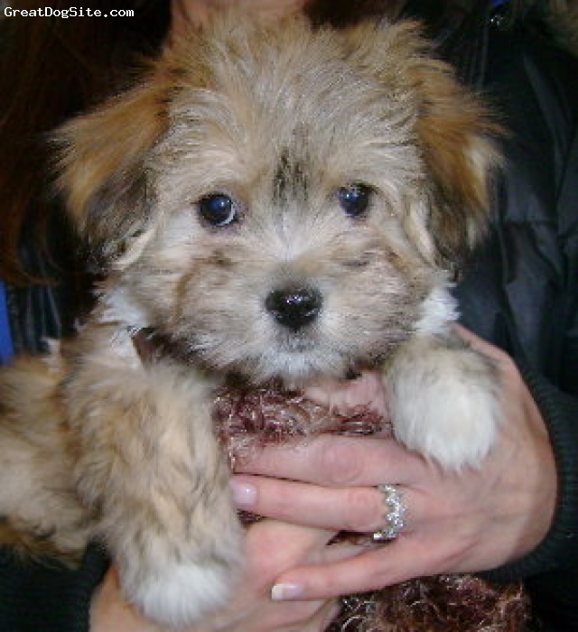 Havanese, 8 weeks, fawn sable, Remi is a Renaissance Havanese who now resides in LI