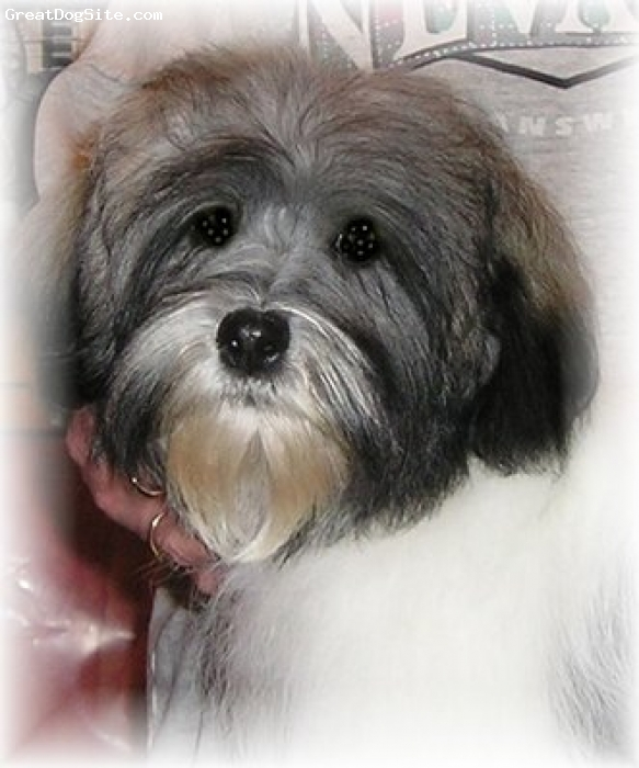 Havanese, 4 years, White/Grey, Rally is 4 year old Havanese and entertains us constantly!