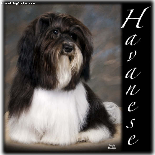 Havanese, Unknown, Black and White, Havanese