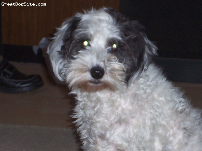 Havanese, 7 years, black and white, Very loving dog, black and white with semi-curly hair.  She likes to be brushed and stays very still for her hair cuts.  Very sweet dog, we love her a lot.  She has the prettiest long eye lashes.