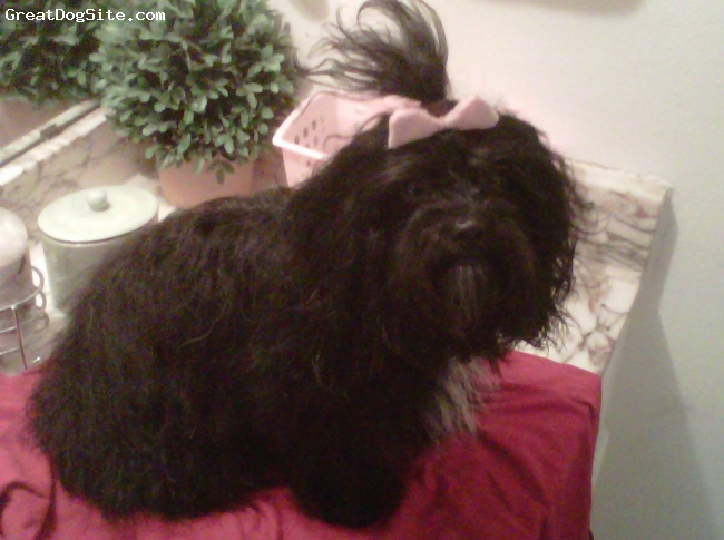 Havanese, 1 year and 4 months, black and white spots, The typical, 10 pounds, lap pet, curly-straight hair, 