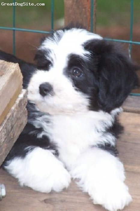 Havanese, 9 weeks, Black and White, Adorable Hand raised pups for your family.  Guaranteed and secure purchase through Paypal.  Parents health tested