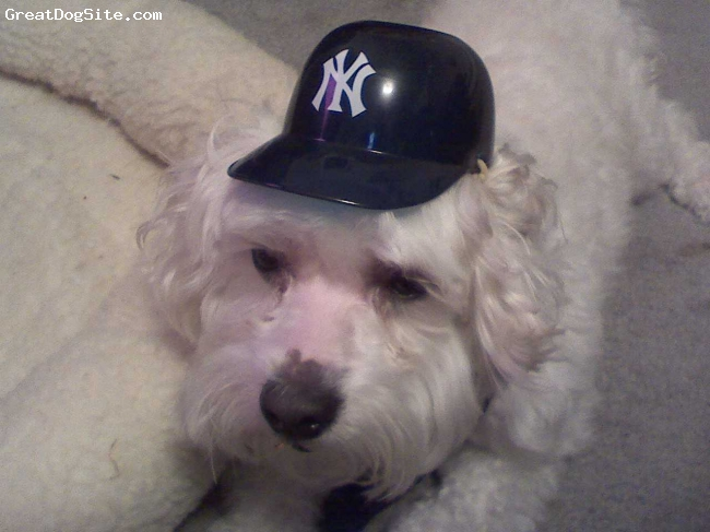 Havanese, 6, white, Mr. Personality showing off his new baseball attire.