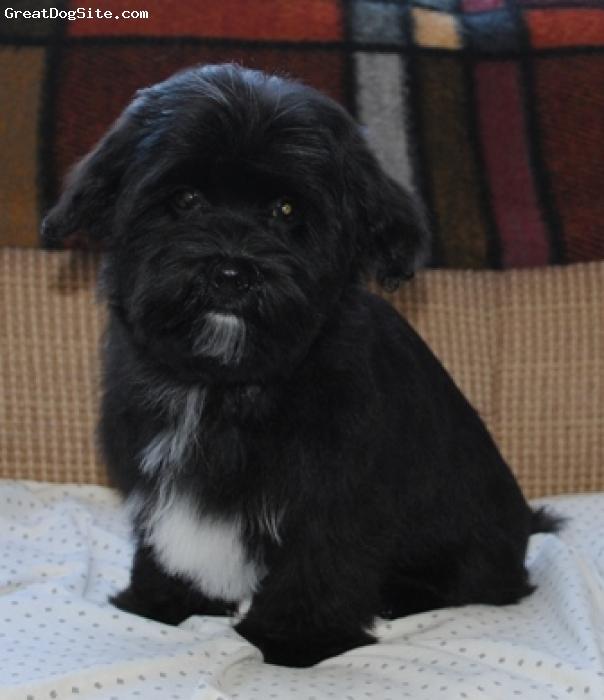 Havanese, 17 weeks, black and white, Havanese puppy