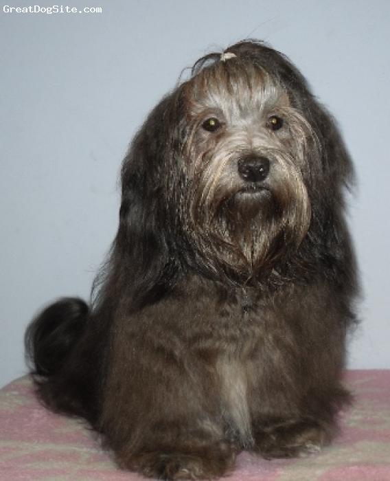 Havanese, 14 month, black, havanese girl