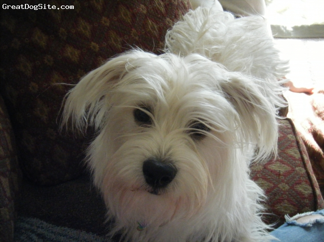 Havanestie, 1 year, white/cream, He weighs 13-15 pounds and is extremely smart. His hair is longer like the havanese and he has the havanese look more than the westie. His characteristics and personalities are mixed up between the two but this is a great breed to have.
