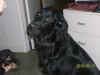 Hovawart, 11 months, black