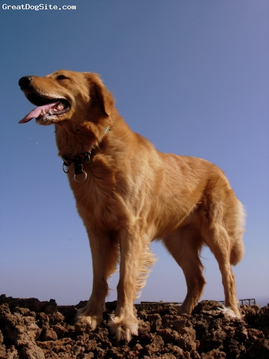 Hovawart, 4, golden, I got her in Budapest. She is a lovely and sweet dog.