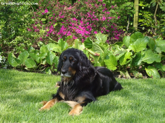 Hovawart, 9 and a half, black/tan, spring 2009, relaxing in the garden....