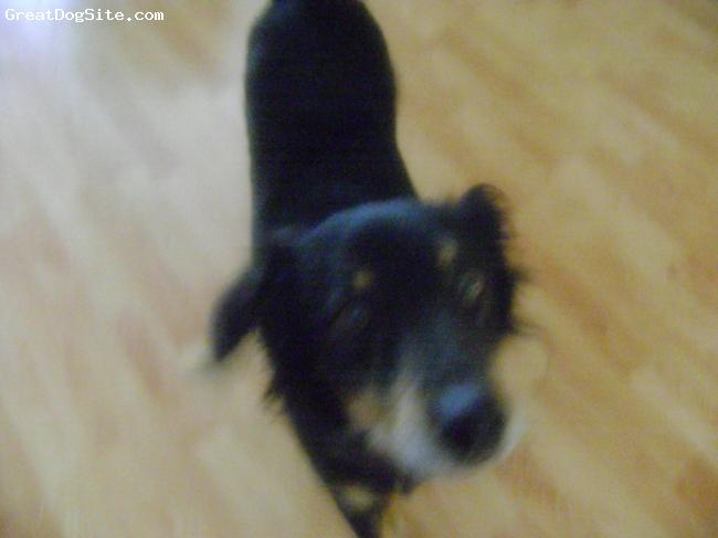 Hovawart, 9, Black, Tan, White, Very loving dog!