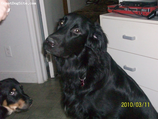 Hovawart, 11 months, black, kovu is 11 months old black  hovawart he comes from shelter in canada