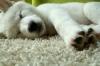 Imo-Inu, 8 weeks, White