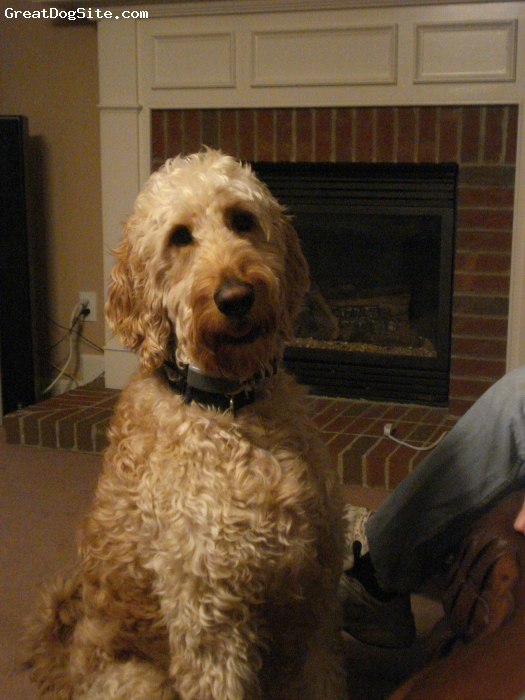Irish Doodle, 2, Red/Apricot, Dave is a loving 2 year old Irish Doodle.