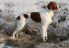 Irish Red and White Setter, 7 months, red and white