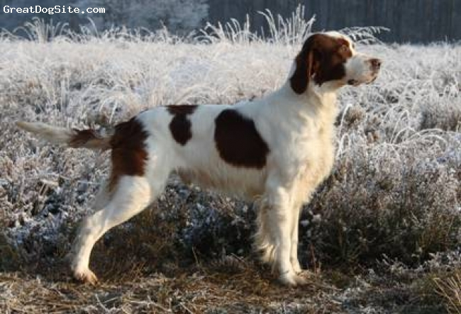 Irish Red and White Setter, 16 months, red and white, brion a red and white irish setter