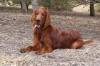 Irish Setter, 9 months, Red