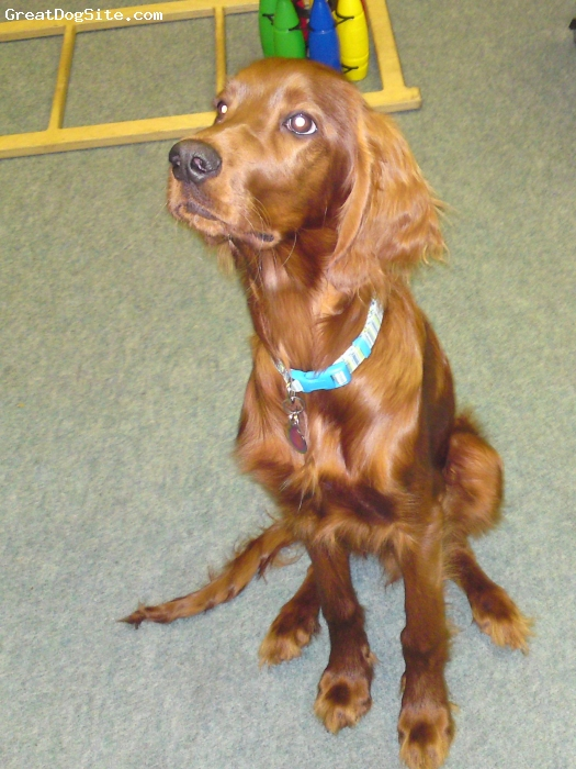 Irish Setter, 6 months, red, A beautiful bouncy pup!