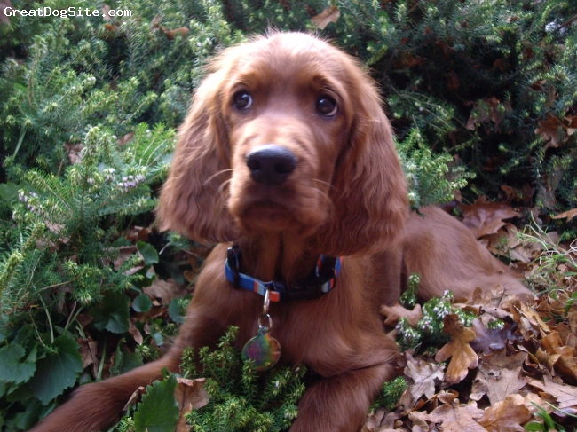 Irish Setter, 3 months at time of photo, red, Sams is a beautiful boy, a shy fellow with lots of love to give.  He loves people, especially children.